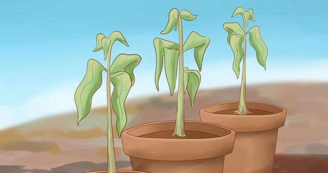 زراعة المانجو
