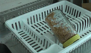 زراعة القمح