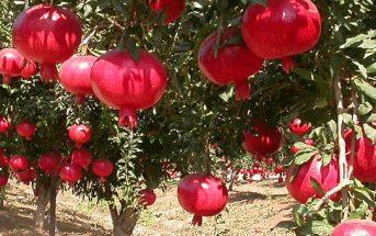 زراعة الرمان