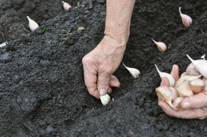 زراعة الثوم