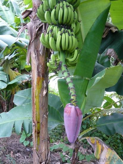 زراعة الموز