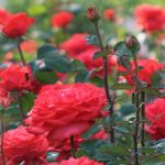 زراعة الورد