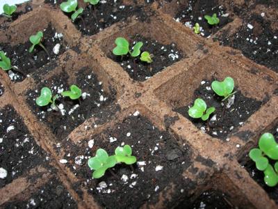 طريقة زراعة البروكلي