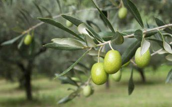 زراعة اشجار الزيتون