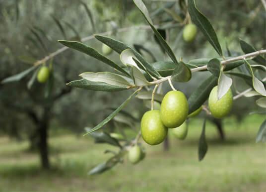 كيفية زراعة اشجار الزيتون