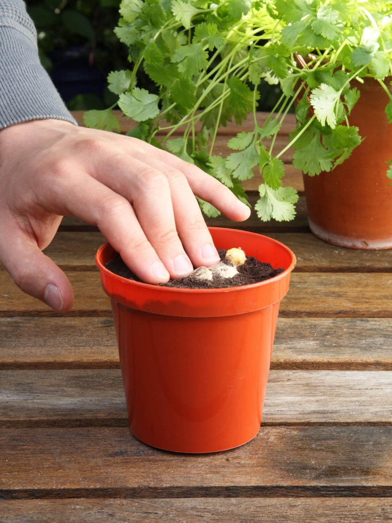 كيفية زراعة الزنجبيل