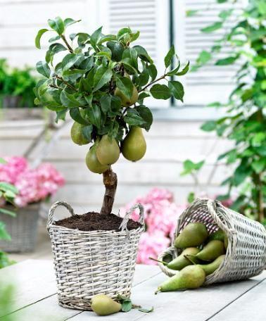 أشجار الفاكهة التي يمكن زراعتها داخل البلكونة