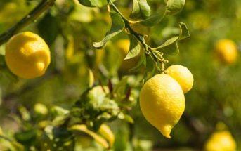 كيفية زراعة شجر الليمون بالمنزل