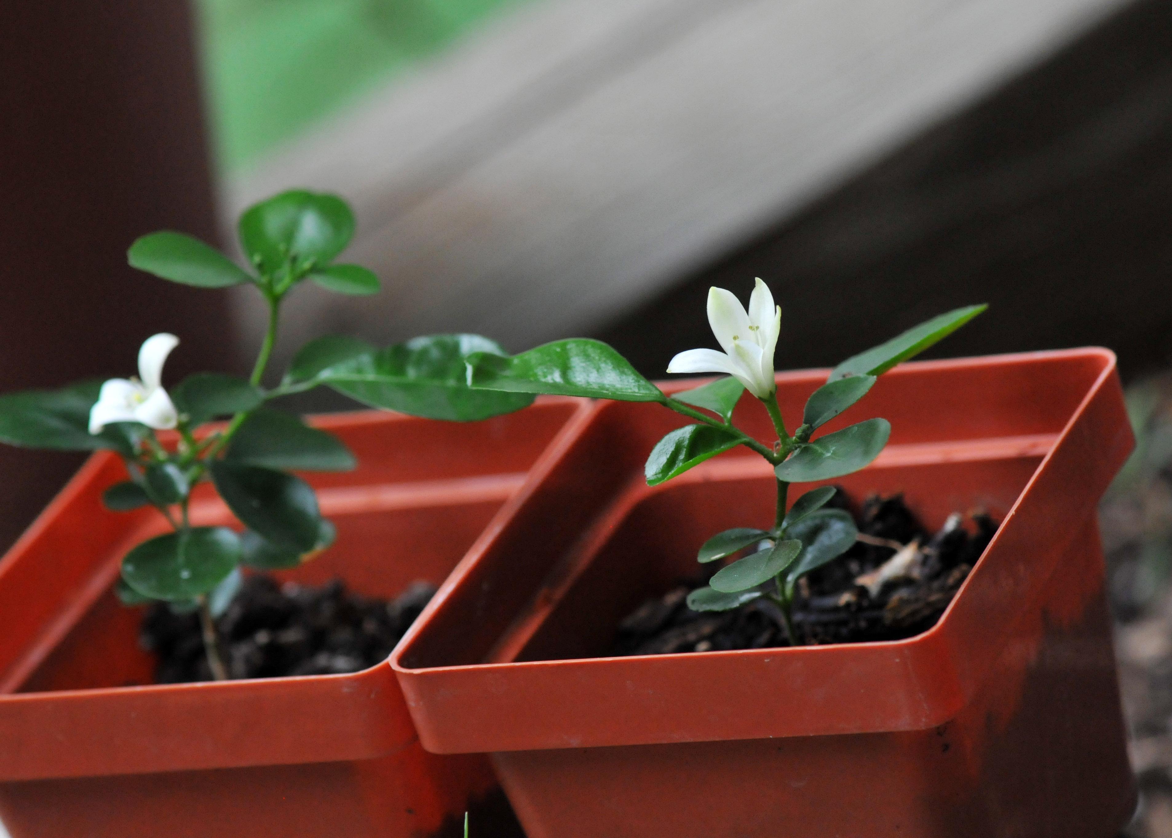 كيفية زراعة الفل والياسمين