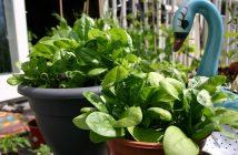كيفية زراعة السبانج في اصيص