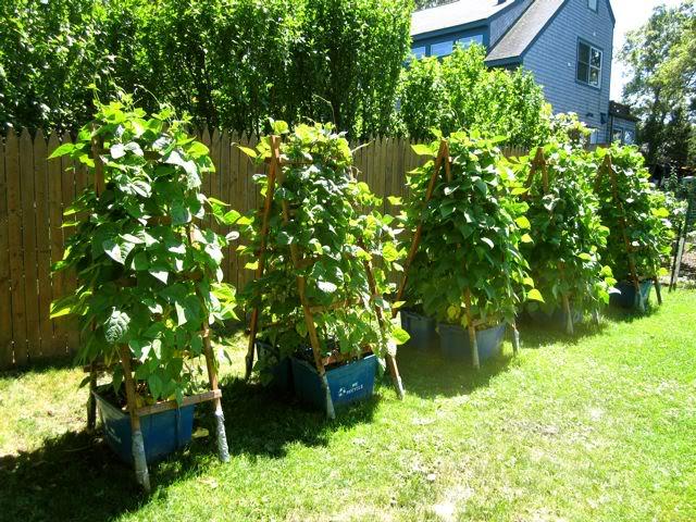طريقة زراعة الفاصوليا بالمنزل