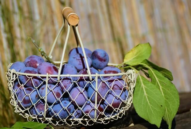 كيف يتم زراعة البرقوق ؟