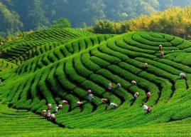 كيفية زراعة الشاي بالخطوات