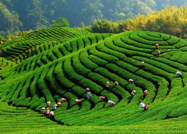 زراعة الشاي